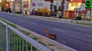 """Dzikie zwierzę zagubione w mieście. """"Ochraniali je kierowcy"""""""